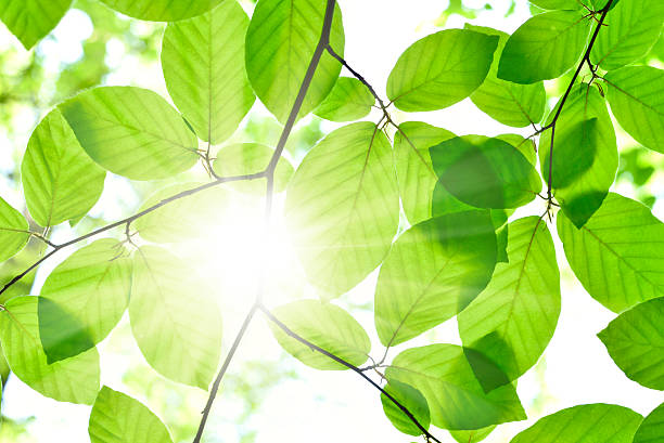 Sun shining through branches of green leaves stock photo