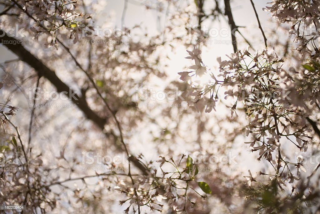 Sun shining through cherry blossoms royalty-free stock photo