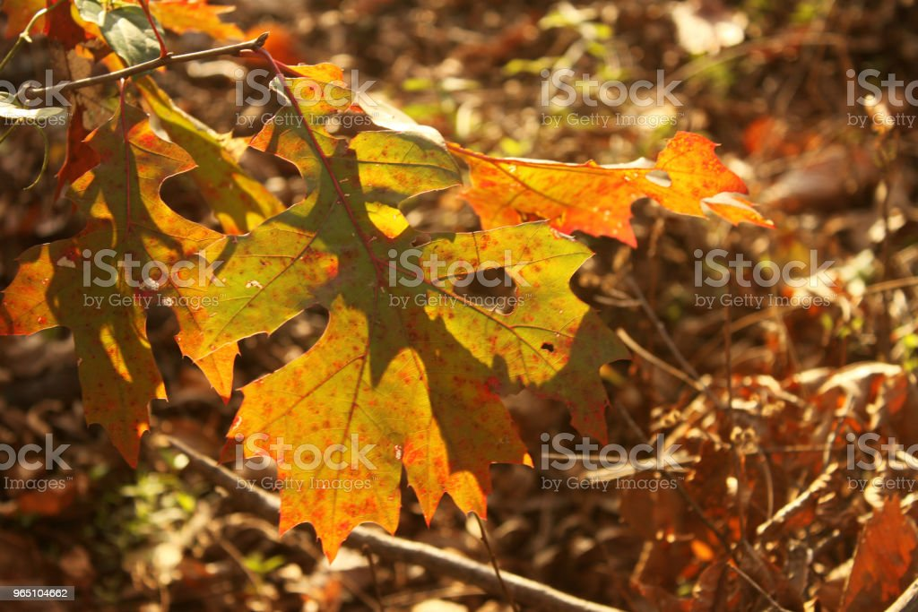 Sun shining through mottled fall leaves with blurred background zbiór zdjęć royalty-free