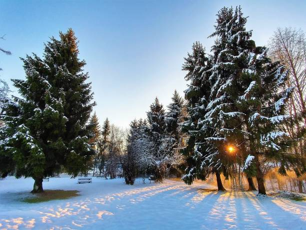 sun shining through pine trees a winter evening - british columbia stock photos and pictures