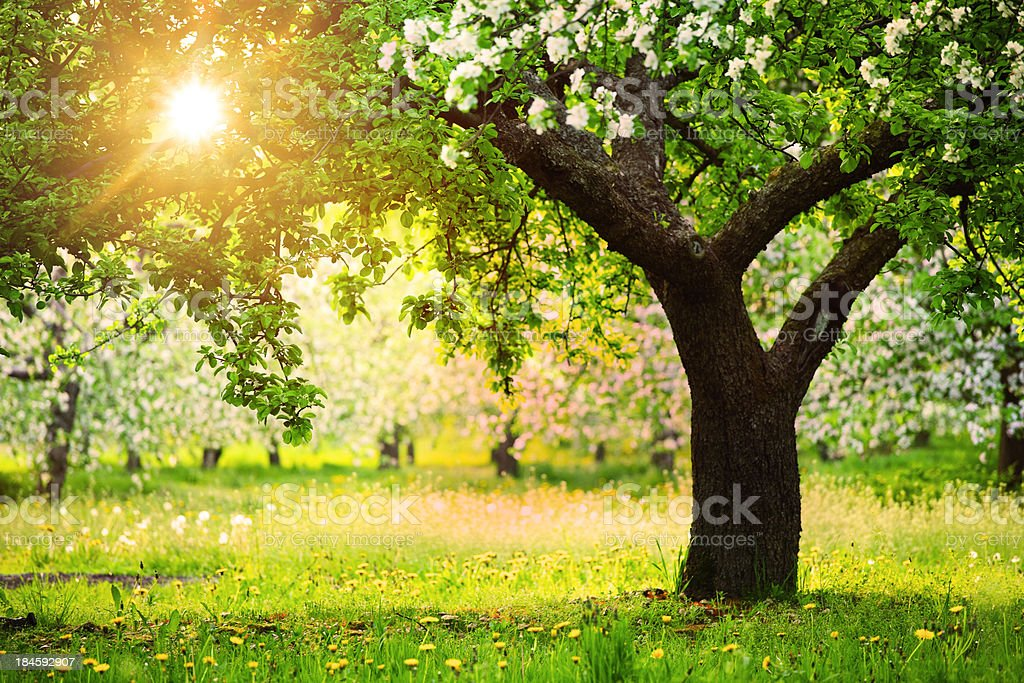 Sun Shining through the Blooming Tree  Orchard Stock Photo