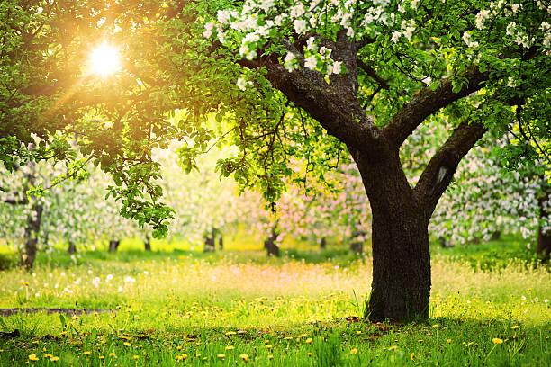 Sun Shining through the Blooming Tree stock photo