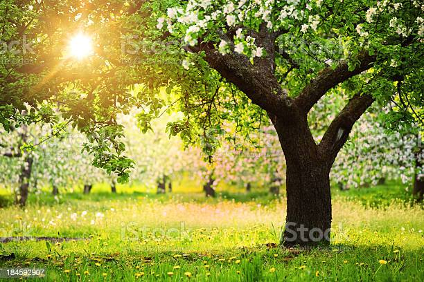 Sun Shining Through The Blooming Tree Stock Photo - Download Image Now