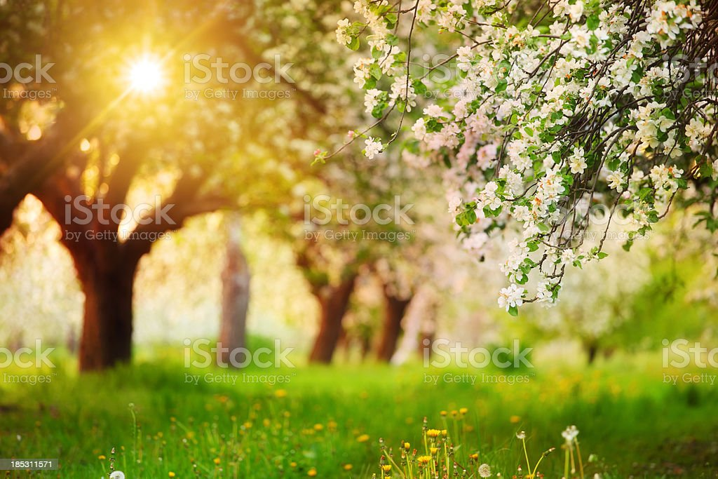 Sun Shining through the Blooming Tree - Spring Orchard - Royalty-free Apple - Fruit Stock Photo