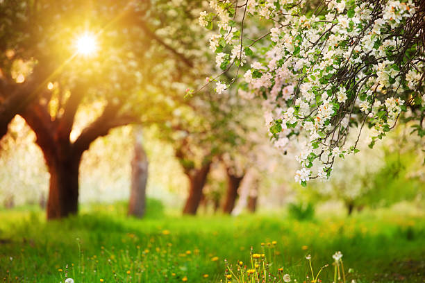 Sun Shining through the Blooming Tree - Spring Orchard stock photo