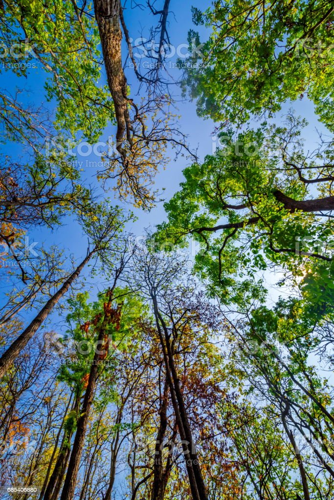 sun shining through the canopy of tall trees foto de stock royalty-free
