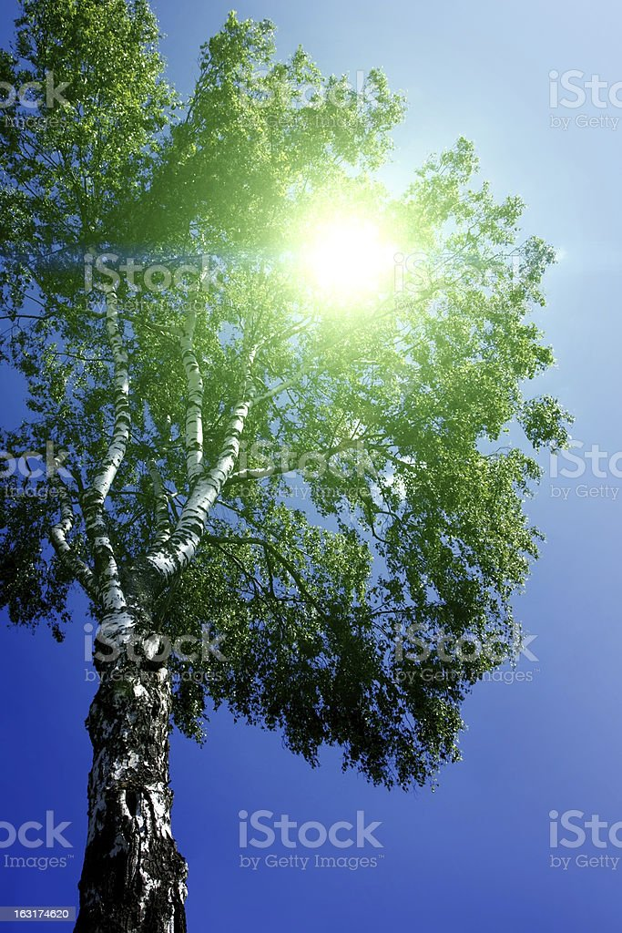 Sun shining through the leaves of birch royalty-free stock photo