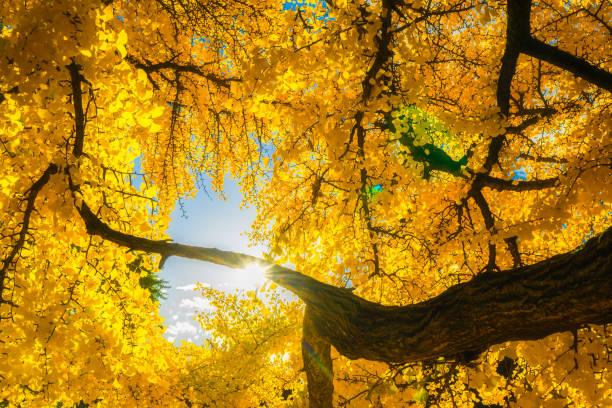 Sun shining through the yellow foliage of a gingko biloba tree. Fall or autumn beautiful scenery. Season concept. stock photo