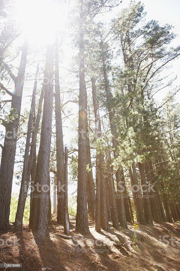 Sun shining through trees in woods royalty-free stock photo
