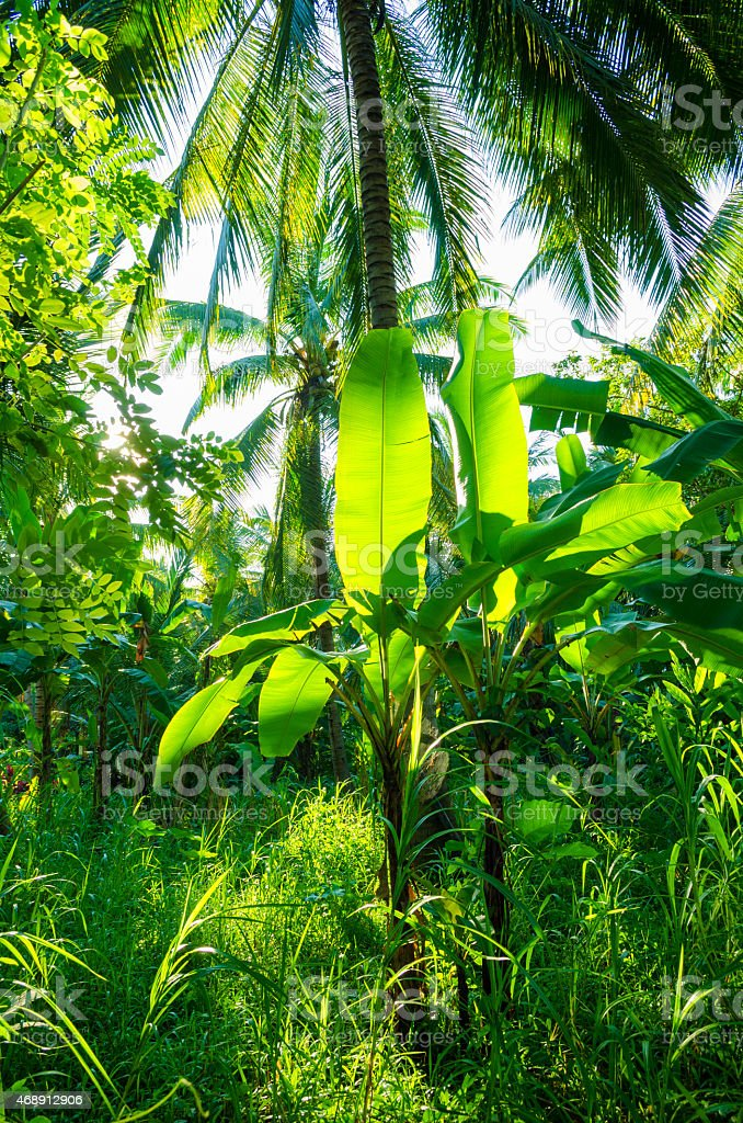 sun shining trough banana plants in wild jungle stock photo