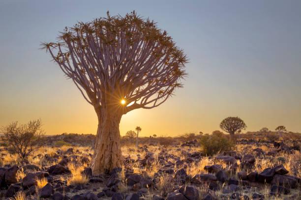 Sun starburst in quiver tree Sun starburst in quiver tree Namibia namib desert stock pictures, royalty-free photos & images