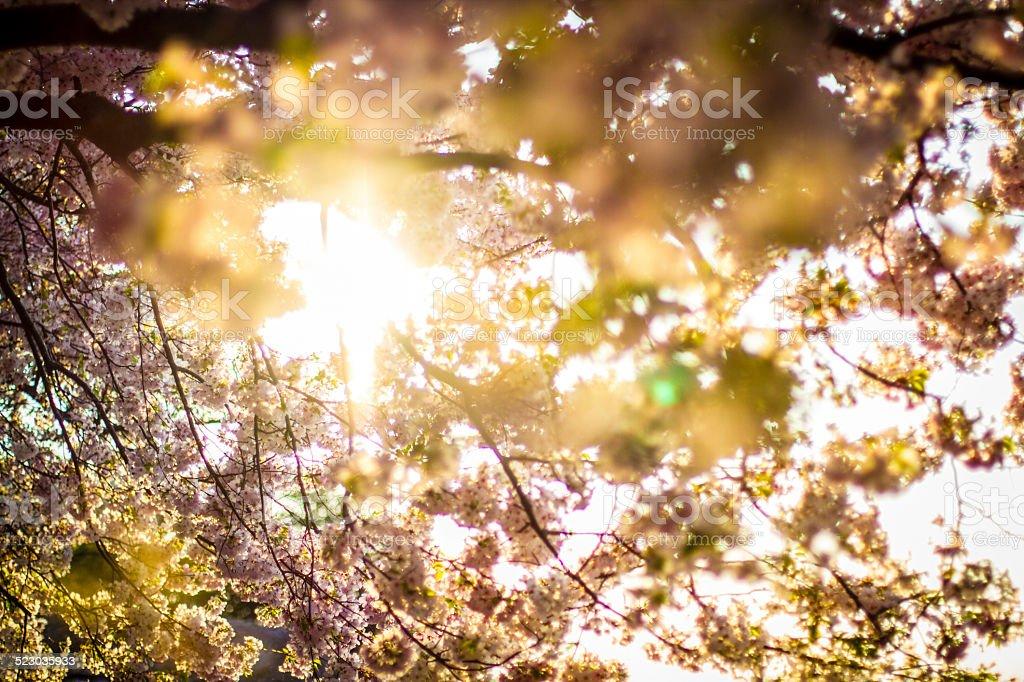 Sun Through the Cherry Blossom Trees stock photo