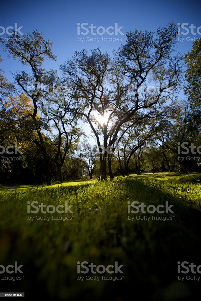 Sun Through Tree stock photo