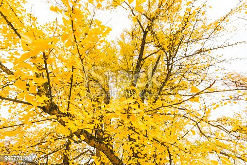 Sun Through Yellow Ginkgo biloba Leaves In Autumn