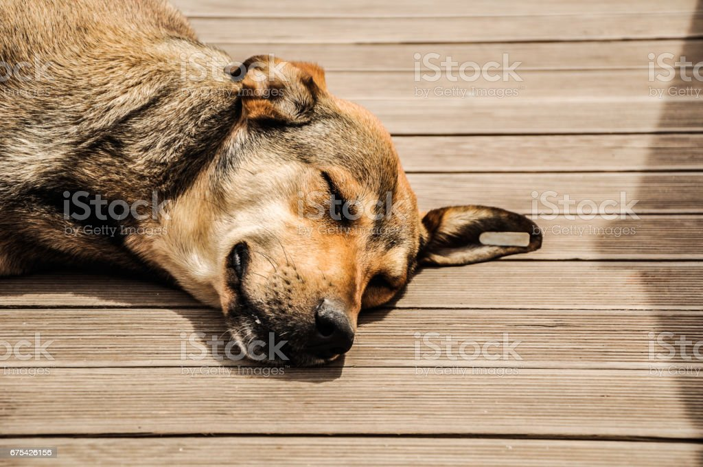Sunbathing Dog royalty-free stock photo