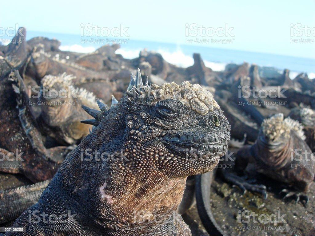 Sun-bathing Iguanas stock photo
