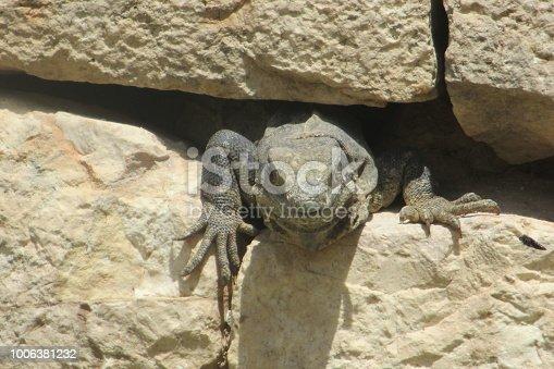 Sunbathing Caribbean iguana.