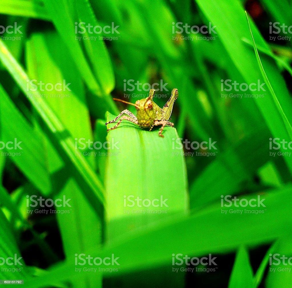 sunbathing Locusta migratoria stock photo