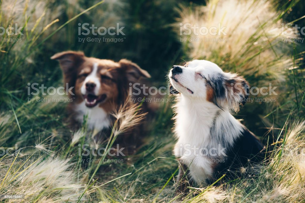 Sonnenbaden Mini Australian Shepherds – Foto