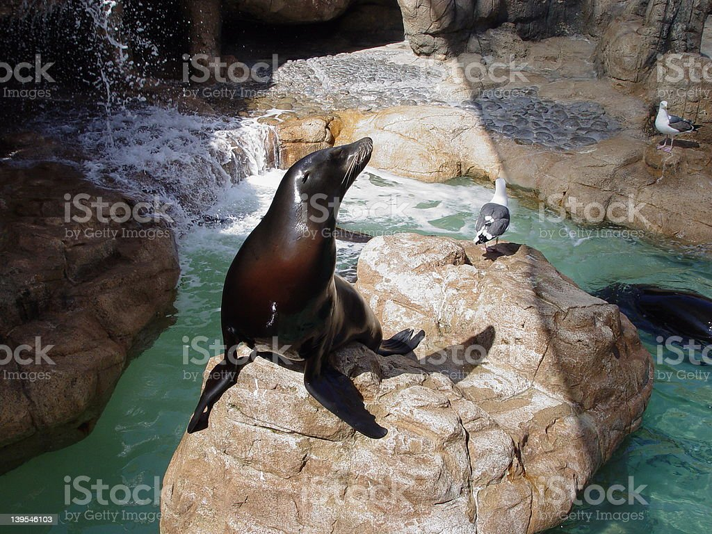 Sunbathing Sea Lion stock photo