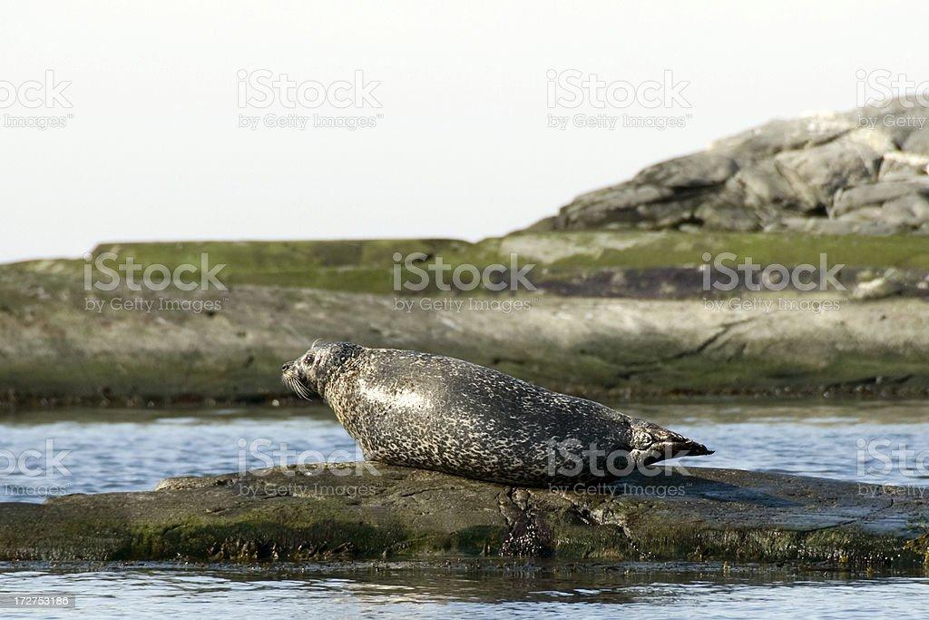 Sunbathing Seal stock photo