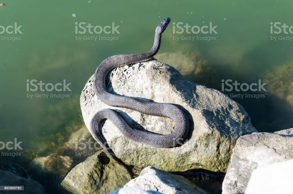 sunbathing snake on the rocks next to water stock photo