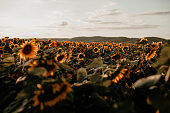 Sunflower field during a sunset.