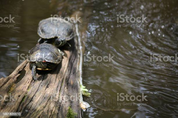 Sunbathing turtles turtle basking in sunlight in a pond picture id1001835510?b=1&k=6&m=1001835510&s=612x612&h=ghxqqyvyr9lq4548quqnivk3x3sfbaw1s5d5tzsfive=