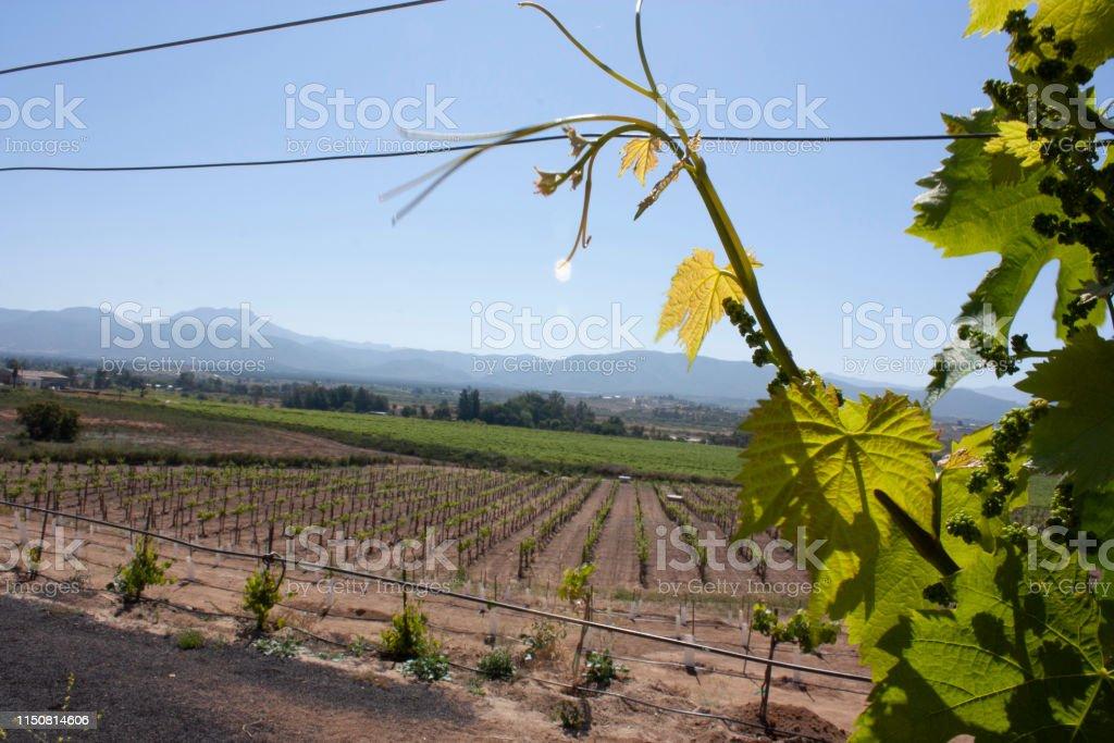Sunbeams bathing vine fields in Ensenada Baja California Mexico