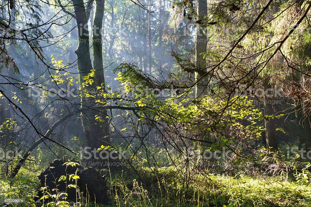 Sunbeam entering rich deciduous forest stock photo