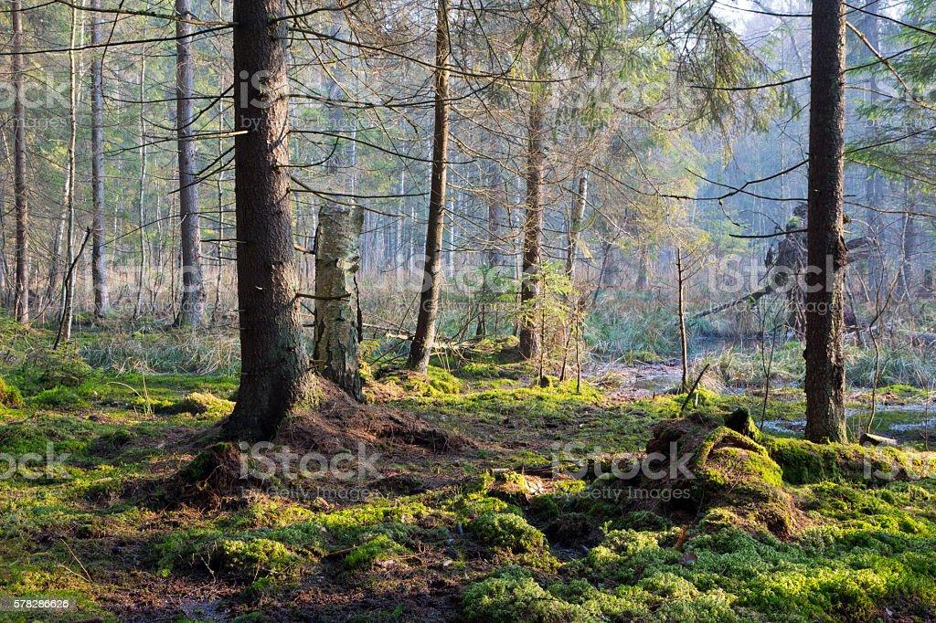 Sunbeam entering rich swampy coniferous forest stock photo