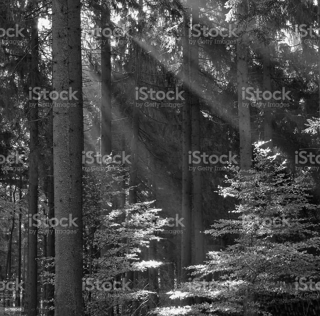 Sunbeam in Forest royalty-free stock photo