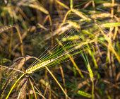 sunbeam on golden corn in field