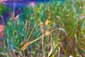 Ear of wheat in a cornfield in Conero Riviera