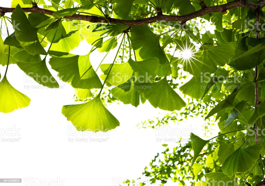 Sunbeam Through Ginkgo Leaves stock photo