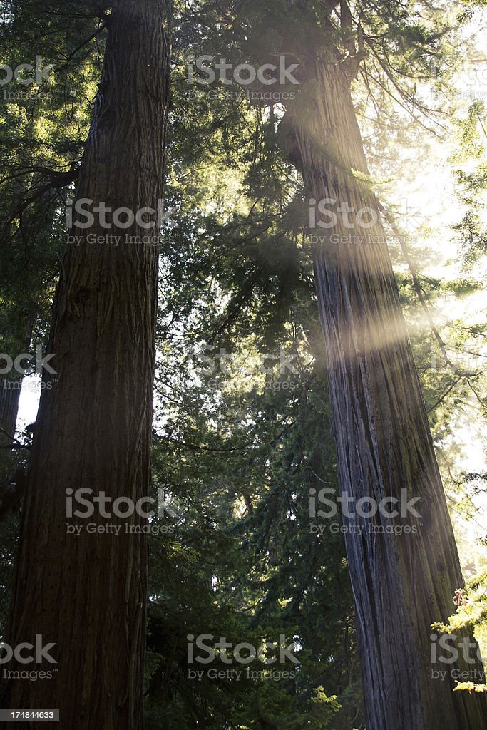 Sunbeams and Redwoods royalty-free stock photo