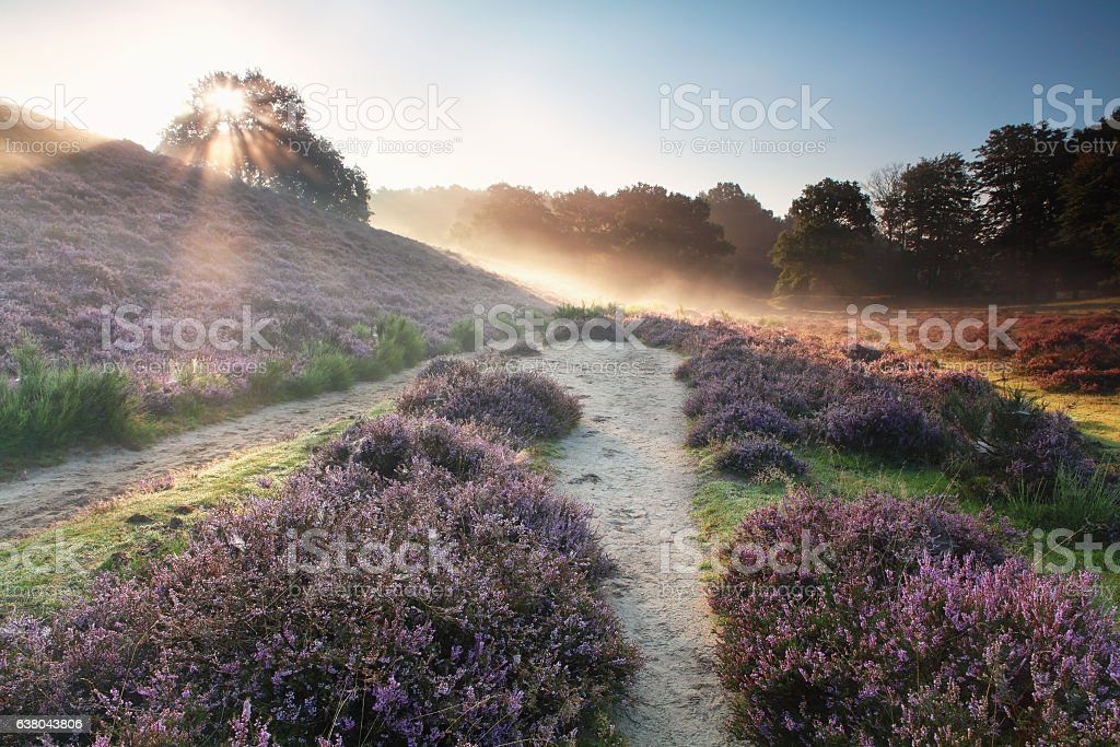 sunbeams behind the hill and flowering heather stock photo