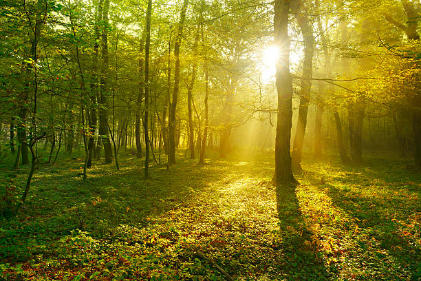 Sunbeams breaking through Beech Tree Forest at Sunrise stock photo