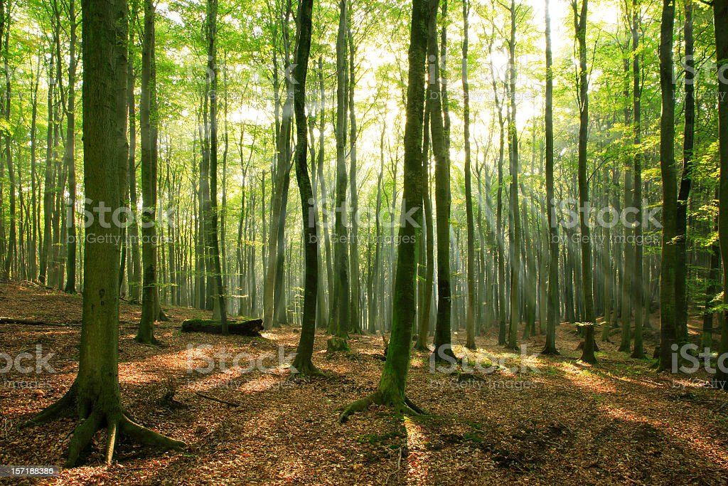 Sunbeams breaking through Fairy Tale Forest of Old Beech Trees royalty-free stock photo