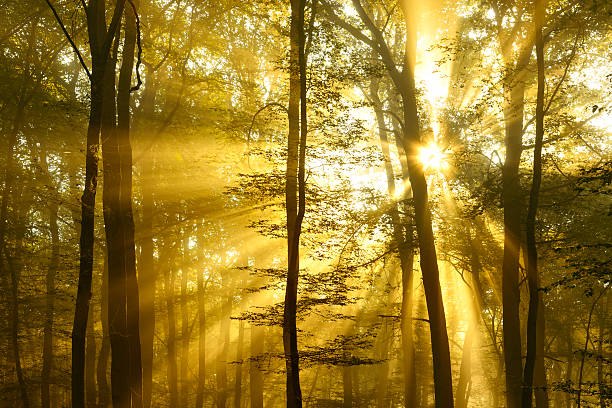 Sunbeams breaking through Foggy Forest at Sunrise stock photo
