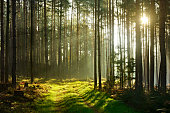 rays of sunlight amongst trees and footpath through forest