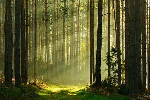 Sunbeams breaking through Pine Tree Forest at Sunrise