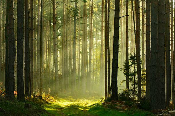 sunbeams breaking through pine tree forest at sunrise - forest bildbanksfoton och bilder