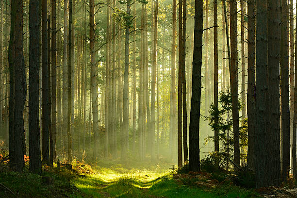 sunbeams breaking through pine tree forest at sunrise - woud stockfoto's en -beelden