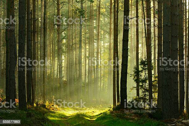 Photo of Sunbeams breaking through Pine Tree Forest at Sunrise