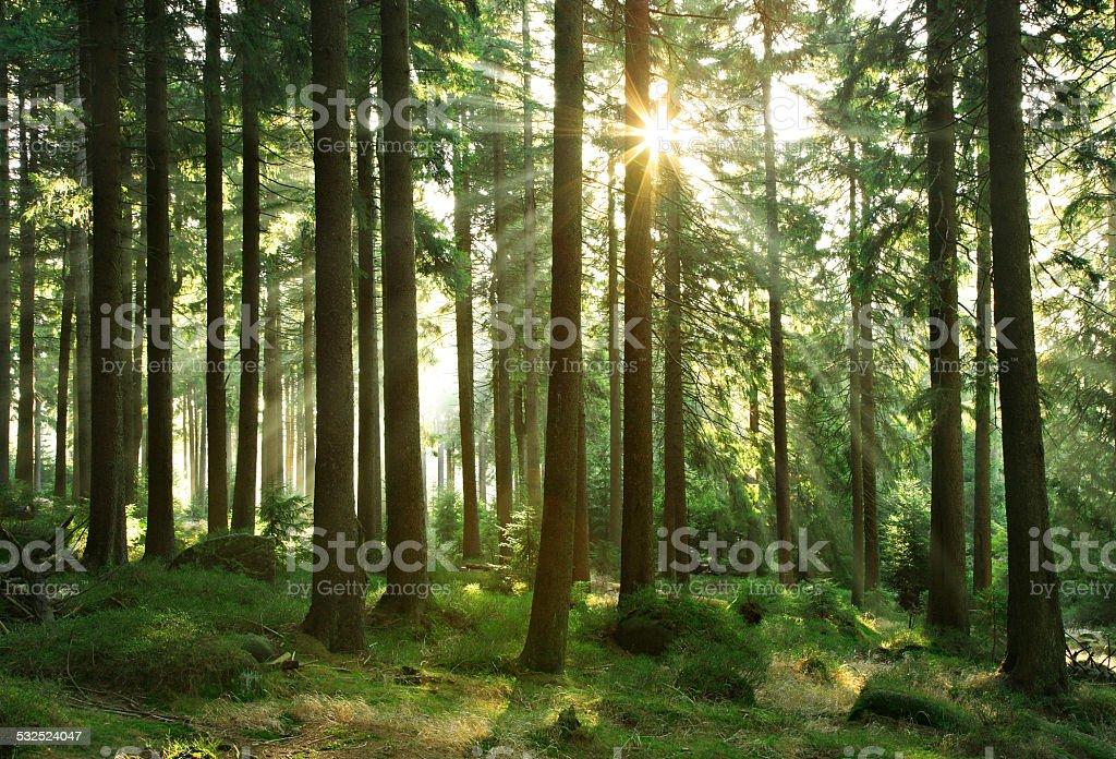 Sonnenstrahlen brechen durch Fichte Wald bei Sonnenaufgang – Foto