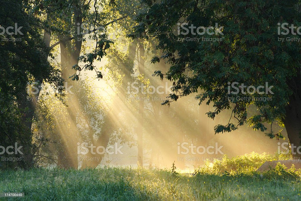 Sunbeams coming through trees in a forest royalty-free stock photo