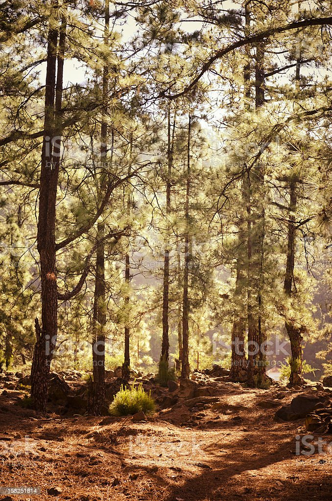 Sunbeams in Autumn Forest royalty-free stock photo