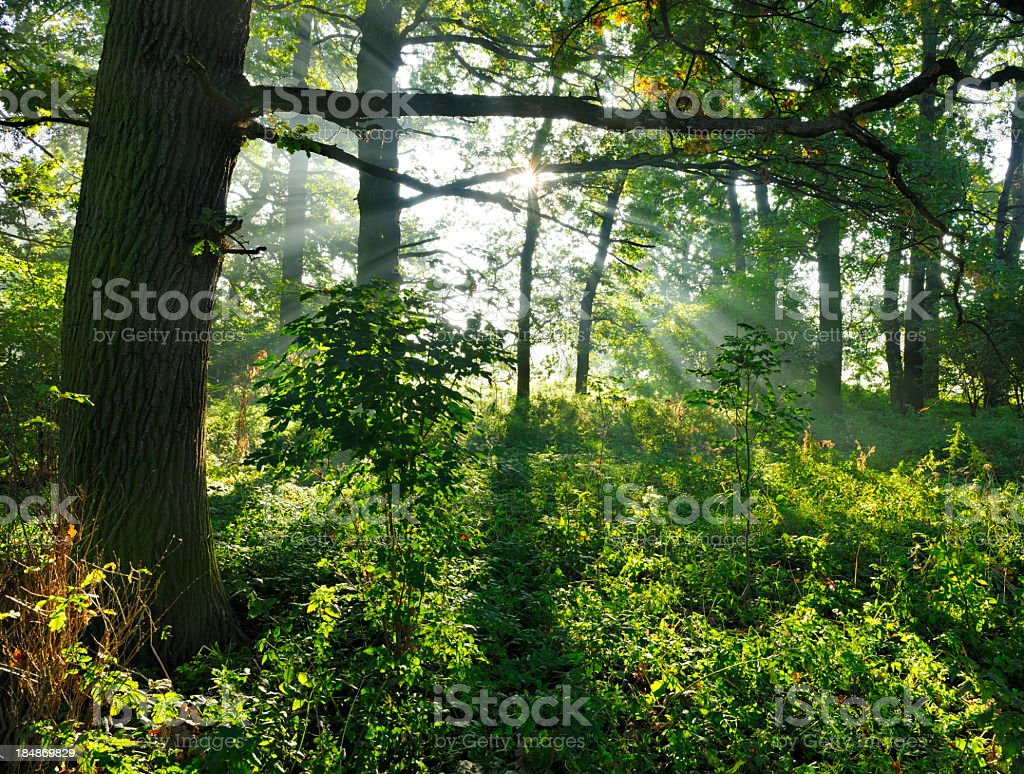 Sunbeams in Backlit Natural Oak tree Forest with Undergrowth royalty-free stock photo