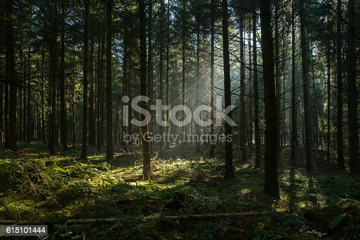 Sunbeams in dark and foggy autumn forest. Coniferous trees. Long shadows. Taken in Dammer Schweiz, Damme, Lower Saxony, Germany, Europe.